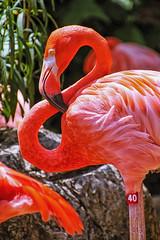 Number 40 (Gary Burke.) Tags: city pink color bird nature animal canon eos rebel zoo la louisiana colorful south flamingo neworleans southern nola dslr avian crescentcity bigeasy audubonzoo garyburke klingon65 t1i canoneosrebelt1i