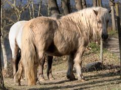 CFR4074 (Carlos F1) Tags: life wild horse mountain animal caballo spain nikon pin village small pueblo pony vida judith montaa antiguo pequeo quesada rupit d300 poble salvaje jpq