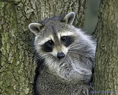 Raccoon (Andrew's Wildlife) Tags: raccoon