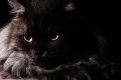 Dark Side of Sophie (pudoca27) Tags: cats flash sophie lowkey