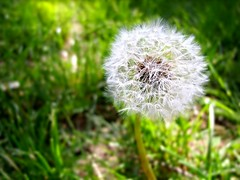 Taraxacum officinale (Petar Manic) Tags: light green nature blowball