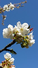 Kersenbloesem (Roelie Wilms) Tags: fleur cherryblossom cerisier   kirschblte kersenbloesem   fioridiciliegio  flordecerezo fleurdecerisier  kiraziei kwiatwini