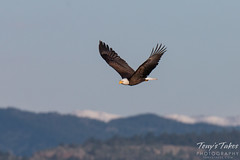 May 2, 2015 - A Bald Eagle soars with ease in Longmont. (Tony's Takes)