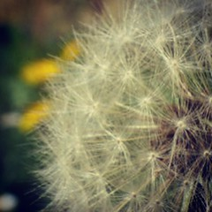 Day 11/30 : Macro (georgina cantwell photography) Tags: macro photography spring outdoor dandelion challenge makeawish