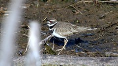 Killdeer, Miller Creek, 05/04/15 (TonyM1956) Tags: tonymitchell duluth stlouiscounty minnesota nature birds millercreek killdeer shorebirds sonyphotographing sonyalphadslr