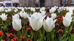 Tulipan (klic_ros) Tags: flores jardin vegetacion tulipan