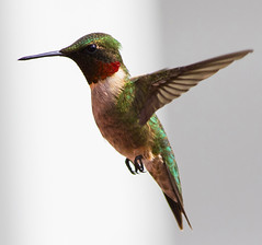 Ruby Throated Hummingbird, Male (Chris Bainbridge1) Tags: hummingbird wildlife national ruby refuge archilochus colubris throated thegreatswamp