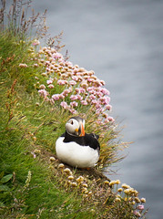 Puffin in Thrift (judy dean) Tags: cliffs thrift puffin shetland 2016 sumburghhead naturethroughthelens judydean sonya6000