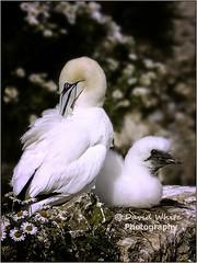 Mother & Child (bretton98) Tags: birds outdoors rockface chick gannet morusbassanus davidwhitephotographybretton98canon7dmkiibemptonrspb