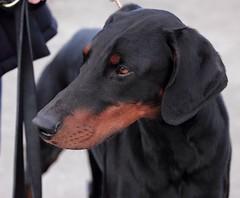 Gunner (Dls Bute) Tags: dog headshot stunning doberman gunner myboy dobermann blackandrust
