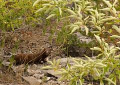 mink (Dave_A_H) Tags: mink wildlife nikon d7100 wainfleet wetlands