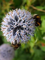 (louisecrouch) Tags: blueflower bluefloral floral bea botanical gardenfloral gardenflowers