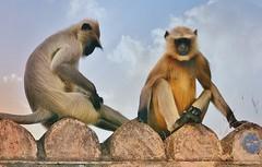 INDIEN, historisches Orchha, Hanuman-Languren, 14132/6987 (roba66) Tags: indienhistorischesorchha affen affe primate baboon monkey ape apes monkys hanumanlanguren languren indien indiennord asien asia india inde northernindia urlaub reisen travel explore voyages visit tourism roba66