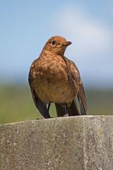 IMG_3903_edited-1 (Lofty1965) Tags: ios islesofscilly oldtown bird