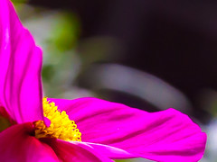 Cup of gold (Steve-h) Tags: nature natur natura naturaleza macro pink gold green black grey colours colour yellow dof bokeh summer july 2016 dublin ireland cosmos blossom bright serene digital exposure ef eos canon camera lens steveh floral allrightsreserved