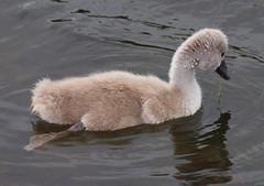 2016_06_0420 (petermit2) Tags: muteswan swan cygnet castlehoward northyorkshire yorkshire