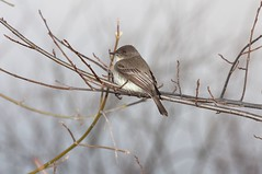 2016 Eastern Phoebe 3 (DrLensCap) Tags: county railroad chicago abandoned robert animal forest way mammal spur illinois woods pacific district union cook trails right il trail phoebe rails to predator eastern preserve kramer weber preserves labagh