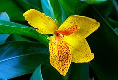 Blood stains - Quinta flower (Pensive glance) Tags: lily lilium lis flower plant fleur plante