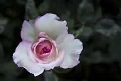 Dclose (Gerard Hermand) Tags: 1607072632 gerardhermand france samons canon eos5dmarkii formatpaysage rose fleur flower feuille leaf vert green pink macro closeup