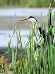 Leighton Moss 244 (digiSET) Tags: rspbleightonmoss bird heron naturereserve leightonmoss water nature wildlife rspb lake reeds longbeak