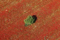 CAMILLE MOIRENC (corridorelephant) Tags: france nature fleur rouge europe couleurs paca paysage arbre numerique champ coquelicot flore amandier bouchesdurhone vueaerienne horizontale arbrefruitier