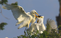 pass the fish please (Shelby Townsend) Tags: greategret chicks crosslake canoeshot