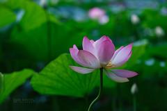 160713_Lotus (san_neoul) Tags: