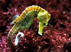 Slender Sea Horse (Ger Bosma) Tags: ocean closeup swimming seahorse zeepaardje hippocampusreidi longsnoutseahorse langschnauzenseepferdchen langschnuzigesseepferdchen slenderseahorse 2mg175511filtered