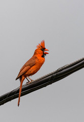 Cardinal On a Wire (thepcanswerguy) Tags: nature birds cardinal