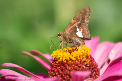 Silver-spotted Skipper (BirdFancier01) Tags: nature summer garden flowers zinnia skipper