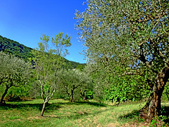 olive grove 3 (dick_pountain) Tags: trees olives olivegrove grove hill grass