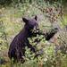 Black Bear 1 - 0 Berries