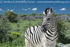 _ANT0765 (AnimaMundiMagazine) Tags: etoshanationalpark namibia southernafrica saltpan depression dolomite savanna salinedesert desertadaptation calciumdeficiency etoshapan rainyseason verdant flowers bloom