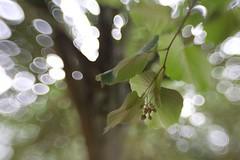 (juli_ei) Tags: bokeh blatt bltter baum ast zweig wind offenblende lensbaby sweet35 grn volksgarten canon eos6d 6d tree