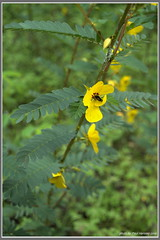 wildflowers in the woods (pvh photo) Tags: yellow flower blooms texas smcm2835