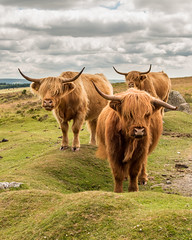 Three's company! (Keith in Exeter) Tags: three highland hairy cattle dartmoor nationalpark devon england cow animal livestock farming moorland grass cloud horns