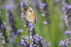 Butterflies time (dfromonteil) Tags: papillon butterfly lavande lavender macro bokeh purple violet green vert colors orange light sunny nature bug