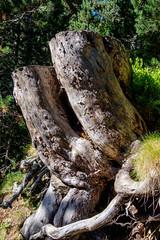 Royaume du pin  crochets, nous rencontrerons beaucoup d'arbres comme ptrifis ainsi que des souches trs dures. (alainlecroquant) Tags: montagne lac pyrnes nouvielle oule bastan infrieur suprieur milieu barrage artigusse parking vache cheveaux refuge refugedebastan