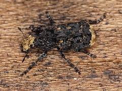 Platyrhinus resinosus (Anthribidae) (gbohne) Tags: geo:region=europe geo:country=germany arthropoda arthropods canon closeup coleoptera taxonomy:subphylum=hexapoda insects insekten insect insekt insecta taxonomy:class=insecta pterygota taxonomy:subclass=pterygota neoptera taxonomy:infraclass=neoptera taxonomy:order=coleoptera käfer beetles beetle taxonomy:suborder=polyphaga crampballfungusweevil fungusweevil weevils rüsselkäfer stenotop laubwald buchen breitrüssler taxonomy:superfamily=curculionoidea taxonomy:family=anthribidae taxonomy:genus=platyrhinus taxonomy:binomial=platyrhinusresinosus totholz urwald fagus fungi sababurg flash tier outdoor