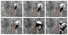 2016_08-28e1 (gkoo19681) Tags: beibei treetime treesitting danglinglegs dangling upsidedown sillygoober morningsilliness sayinghello ccncby nationalzoo