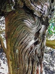 Tree Folds (Gabriel FW Koch (fb.me/FWKochPhotography on FB)) Tags: nikon p900 closeup tree wood folds bent grain forest bark woods oaktree oak sun sunlight lines texture details outdoor outside summer
