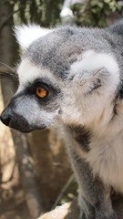 Pensive-Lemur (marbellaescapes) Tags: marbella rescue center zoo castellar tiger tour travel malaga costa de sol c caracal lemur vuture