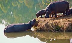 Swaziland - Famille d'hippopotames. (Gilles Daligand) Tags: swaziland famille hippopotames hippopotamus