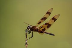 Halloween_Pennant_Webber_Hill_Rd_Kennebunk_ME_08-07-2016.jpg (Ken Janes) Tags: halloweenpennant dragonfly