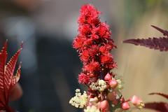 Wunderbaum (Ricinus communis) (Hugo von Schreck) Tags: wunderbaum ricinuscommunis flower blte macro makro outdoor hugovonschreck canoneos5dsr tamronsp90mmf28divcusdmacro11f017 onlythebestofnature