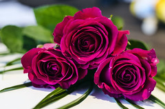 #Threeofakind (garlick.rachel) Tags: rose red three threeofakind bloom flower flowers floral flora petals claret tone colourful deep deepred crimson hybridtea beauty beautiful valentine perennial flowering plant rosa genus shrub garden dof niftyfifty thorn ornamental gift love foliage scent