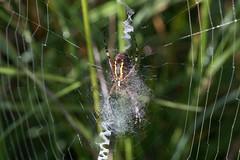 Wasp spider - HBBBT! (Steve Balcombe) Tags: beautiful bug butt arachnid wasp spider argiope bruennichi web orb zip zipper underside spinner somerset uk