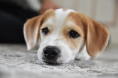 Filou (GiulianaDemu) Tags: dog sweet face pretty terrier jack russell dof tired
