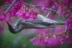 Red Wattlebird (Ineke Struk) Tags: wattlebird blossom spring bird red