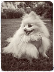 Molly (mariannedeselle) Tags: molly pomeranian pom dog canine littledog whitedog cutedog